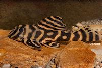 "Bild 5: Hypancistrus sp. ""Rio Madeira"""