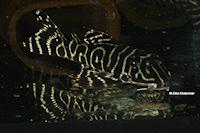 """Bild 2: Hypancistrus sp. """"L450"""""""