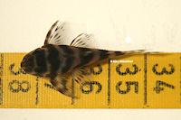 """Bild 6: Hypancistrus sp. """"L450"""""""