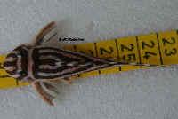 Hypancistrus zebra (L 46)