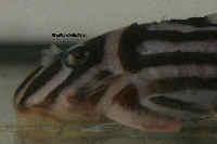 Bild 4: Hypancistrus zebra (L46)