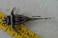 Bild 5: Hypancistrus zebra (L46)