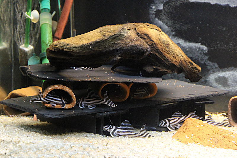 Aquarium mit Hypancistrus zebra