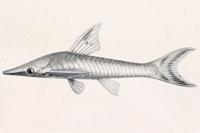 Bild 6: Rineloricaria bilobatum - Lateralansicht