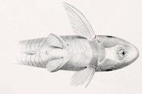 Bild 8: Rineloricaria bilobatum - Ventralansicht