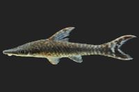 Hypoptopoma sp. aff. elongatum