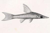 Bild 4: Hypoptopoma steindachneri - Type