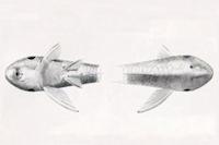 Bild 5: Hypoptopoma steindachneri - Dorsal- und Ventralansicht