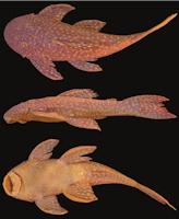 Bild 4: Hypostomus albopunctatus , NUP 593, 108.2 mm SL, córrego Passo do Aterrado, tributary of rio Jordão, Municipality of Foz do Jordão, Paraná, Brazil
