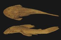 Plecostomus borellii Holotype BMNH 1897.1.27.19 SL153.1mm