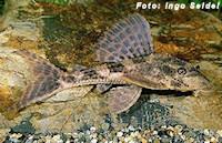 Hypostomus boulengeri
