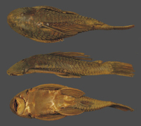 Bild 3: Syntype BMNH1864.1.19.16-17, SL193.5mm