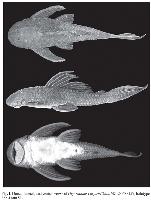 Bild 4: Hypostomus chrysostiktos, holotype, 222.4 mm SL