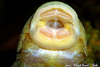 foto 76: Hypostomus cordovae