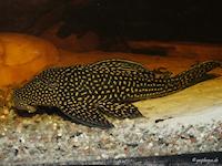 Hypostomus delimai
