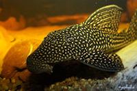 Bild 3: Hypostomus delimai