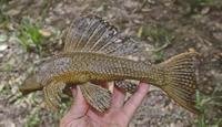 Bild 4: Hypostomus delimai, NUP 11016, paratype, 176.7 mm SL, from the rio Lontra, rio Araguaia basin