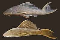 Bild 6: Hypostomus delimai NUP 11016, paratype, 176.7 mm SL (top); and H. hoplonites