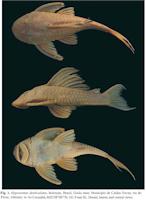 Bild 3: Hypostomus denticulatus, holotype, Brazil, Goiás state, Município de Caldas Novas, rio do Peixe, tributary to rio Corumbá, MZUSP 98770, 161.9 mm SL. Dorsal, lateral, and ventral views