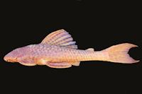 Hypostomus derbyi , NUP 677, 230.6 mm SL, Salto Caxias reservoir, rio Iguaçu, Municipality of Capitão de Leônidas Marques/Nova Prata do Iguaçu, Paraná, Brazil