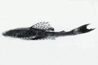 Hypostomus dlouhyi, lateral