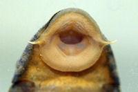 foto 77: Hypostomus faveolus (L 37)
