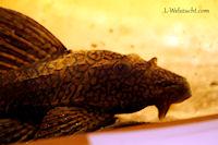 Bild 9: Hypostomus faveolus - Männchen