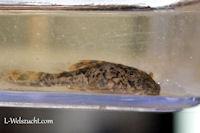 Bild 13: Hypostomus faveolus mit reichlich 3 Wochen