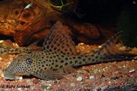 Bild 2: Hypostomus gymnorhynchus vom Rio Comté