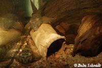 Bild 5: Hypostomus gymnorhynchus