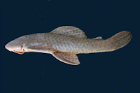 Hypostomus heraldoi, holotype, Brazil, Goiás State, Município de Caldas Novas, rio Pirapitinga, MZUSP 98771, 217.9