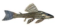 Hypostomus itacua