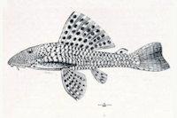 Hypostomus jaguribensis