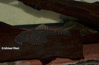"Bild 2: Hypostomus sp. ""L101"""