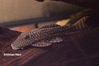 "Hypostomus sp. ""L 101"""