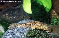 "Hypostomus sp. ""L 245"""