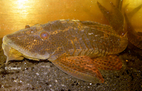 "Bild 6: Hypostomus sp. ""L266"""