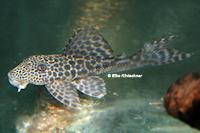 "Bild 3: Hypostomus sp. ""L285"""