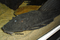 Bild 7: Hypostomus laplatae