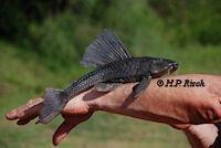 Bild 2: Hypostomus laplatae aus Uruguay