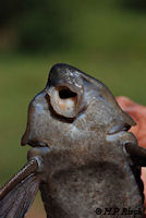 Bild 6: Hypostomus laplatae
