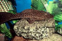 Bild 5: Hypostomus latifrons (L51)
