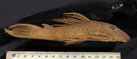Hypostomus latirostris