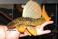 foto 3: Hypostomus luteus