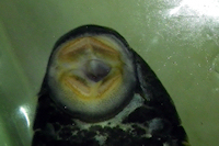 foto 80: Hypostomus luteus