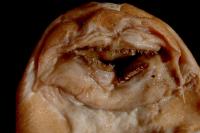 Pic. 85: Hypostomus macrops