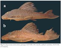 Bild 3: a, Hypostomus denticulatus, paratype, NUP 4308, 194.3 mm SL, and b, H. multidens, NUP 5340, 157.0 mm SL