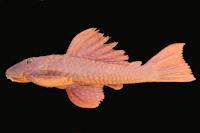 Hypostomus myersi , NUP 680, 146.2 mm SL, Salto Caxias reservoir, rio Iguaçu, Municipality of Capitão Leônidas Marques/Nova Prata do Iguaçu, Paraná, Brazil