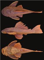 Bild 3: Hypostomus myersi , NUP 680, 146.2 mm SL, Salto Caxias reservoir, rio Iguaçu, Municipality of Capitão Leônidas Marques/Nova Prata do Iguaçu, Paraná, Brazil