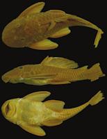 Bild 4: Holotype of Hypostomus myersi MNRJ 4251, 174.0 mm SL, Porto União, rio Iguaçu, Paraná, Brazil